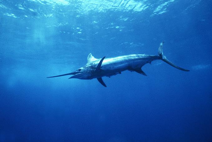 Home / Sharks, Dolphins, & Whales / ATLANTIC BLUE MARLIN: armandojenik.com/photo/14-blue-marlin
