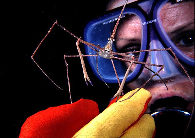 16 SPIDER CRAB