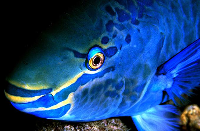 61 PARROT FISH