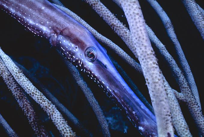 TRUMPET FISHa